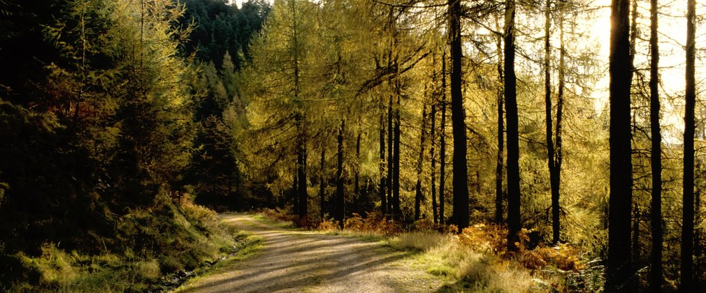 sunlight through conifers along woodland path