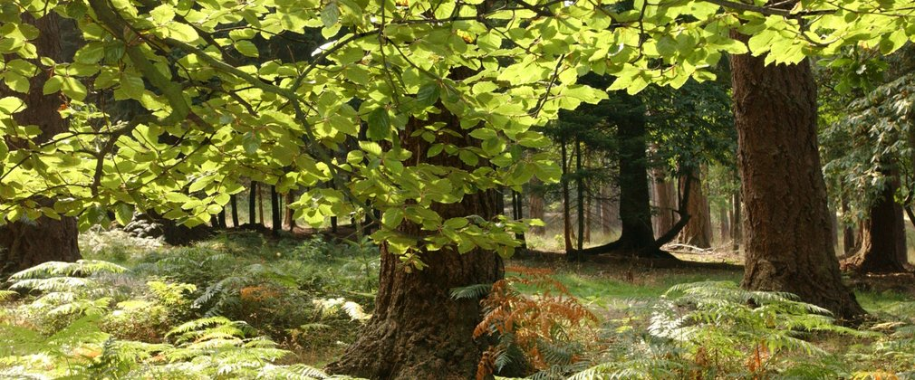 beech and oak tree