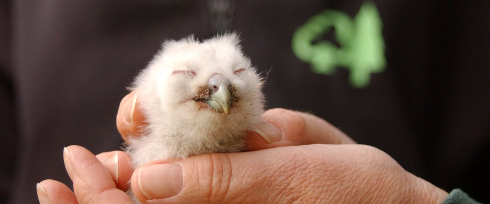 Baby tawny owls in the hands of a ranger