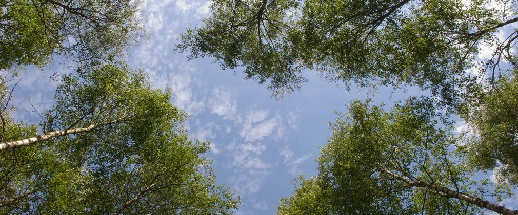 Tree canopy with blue skies