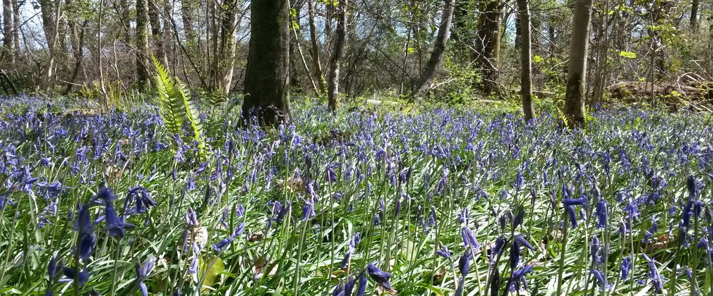 Blue flowers at Cann Wood