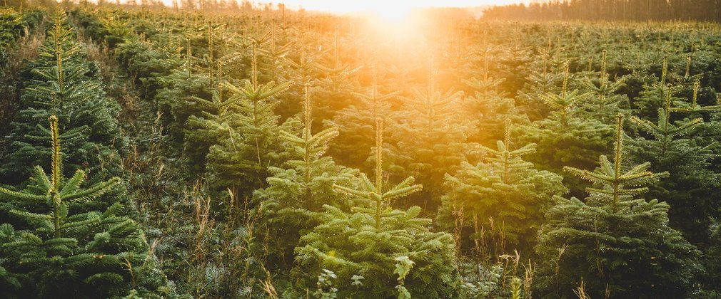 Real Christmas Trees | Forestry Commission England
