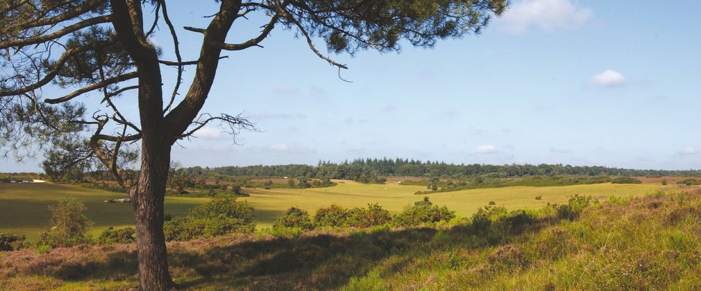 Views over the heather and open forest in the New Forest