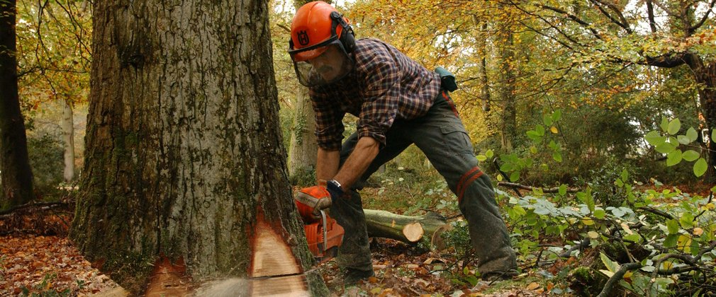 Man cutting down a large tree with a chainsaw