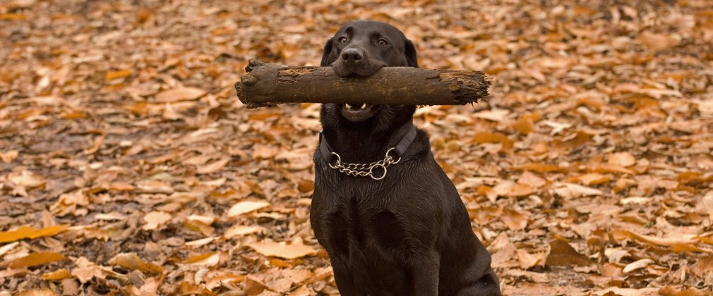 Dog with stick in his mouth, happy on a walk