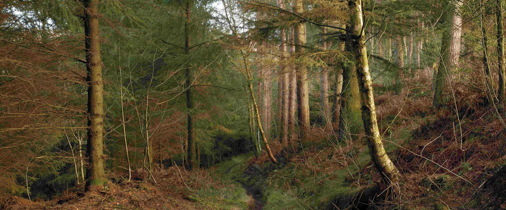 Path through the trees in a conifer woodland