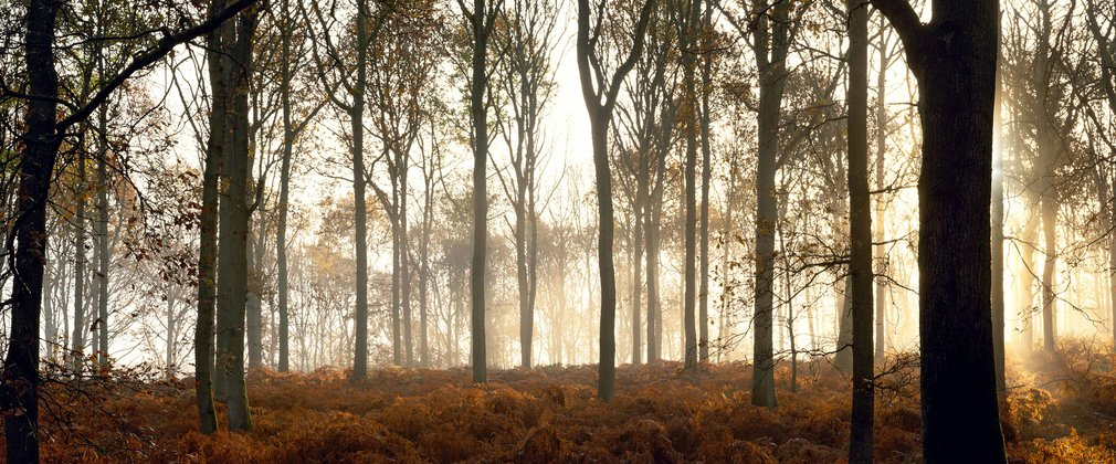 misty morning in the woodland