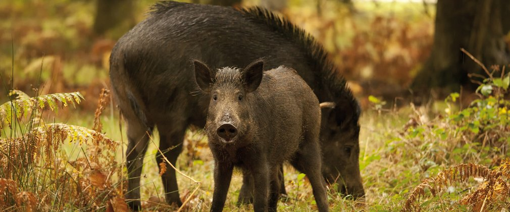 Wild boar grazing in the Forest of Dean