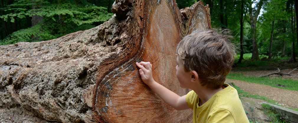 Boy counting tree rings on a very old tree that's been felled.