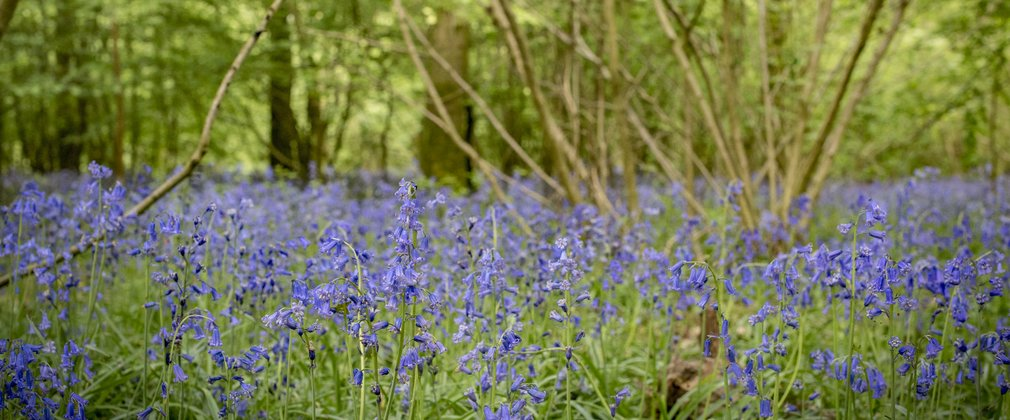 Forest floor covered in bluebells at Abbot's Wood
