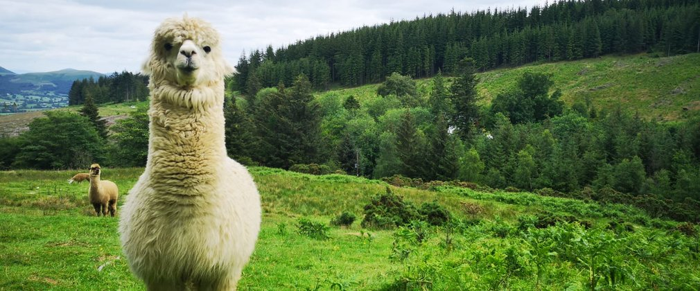 White alpaca on top of a forest hill at Whinlatter