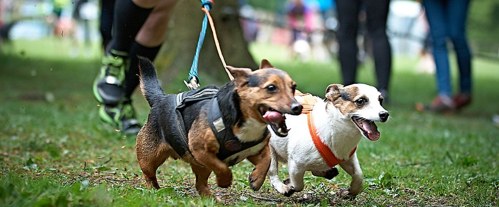 two very small dogs attached to dual harness with runner behind