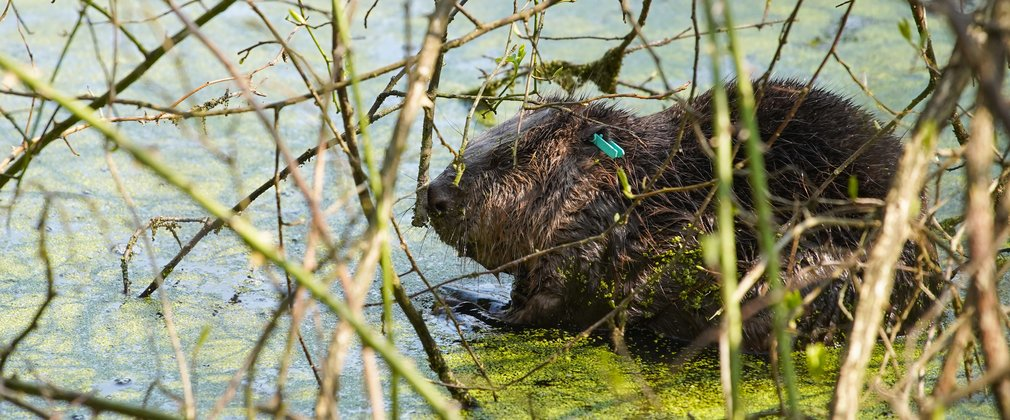 Beaver in pond surrounded by trees