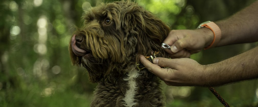 A brown dog being clipped onto a lead