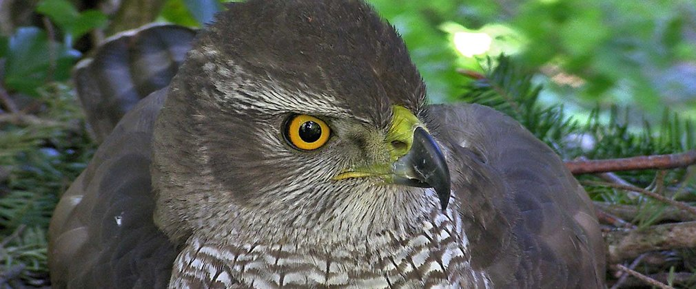 close up of Goshawk sat on its nest