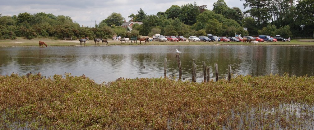 View of Hatchet Pond with birds on wooden posts and ponies in the distance