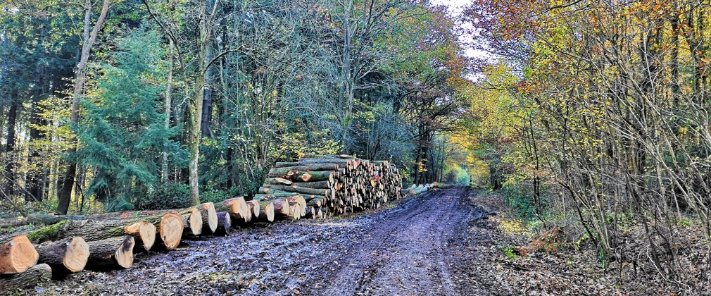 Harvested timber stacked awaiting collection, with autumnal leaves