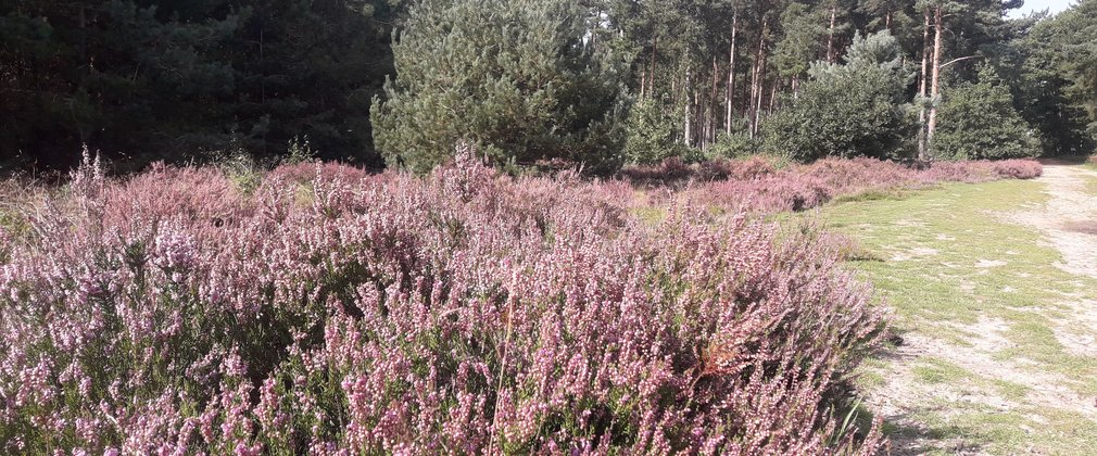 A heathland strip at Ostler's Plantation