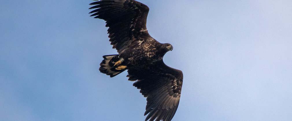White-tailed eagle juvenile flying in the clouds