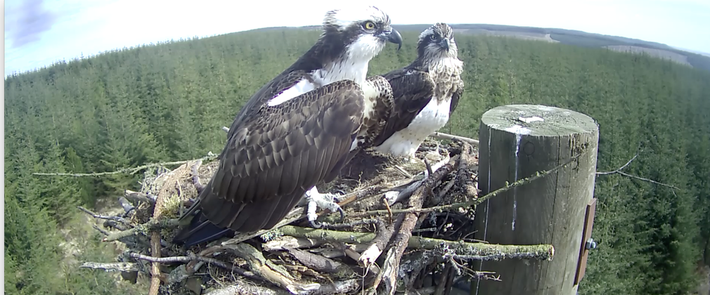 Ospreys settling in