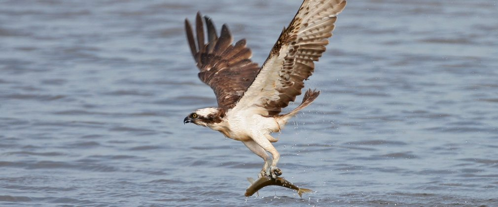 Osprey fishing near Dodd Wood
