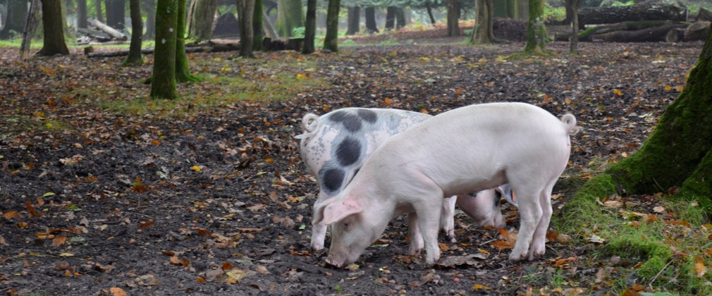 Pigs eating fallen acorns in the New Forest