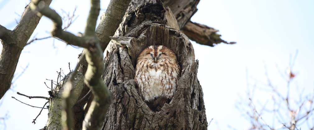 Tawny owl sat in hollow of tree looking content