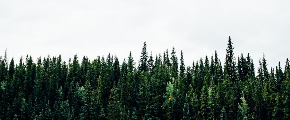Conifer tree tops