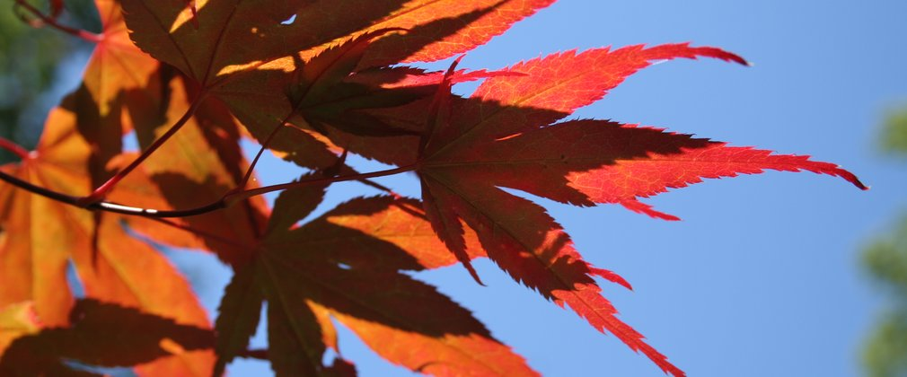 Japanese Maple Leavers Acer Palmatum Westonbirt Generic