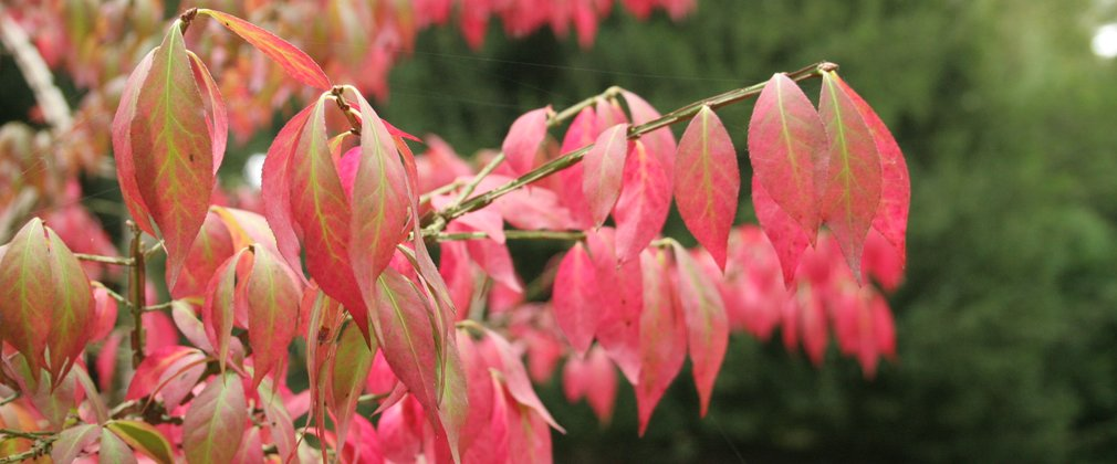 Leaves of Euonymus alatus Signature Trees Westonbirt