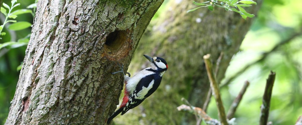 Spotted Woodpecker