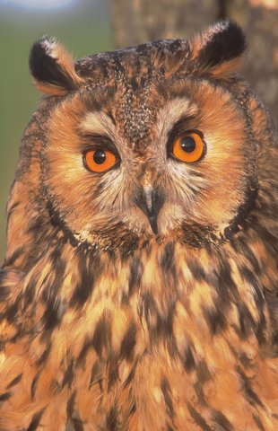 Cole up of long eared owl