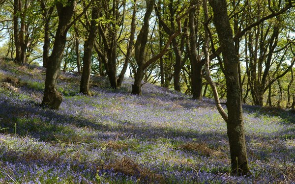 Bluebells Hazelborough