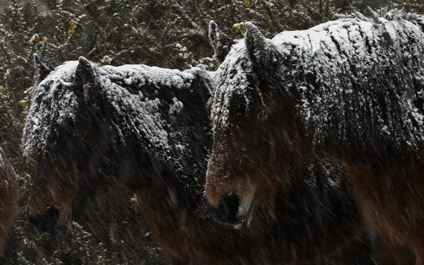 New forest ponies in the snow