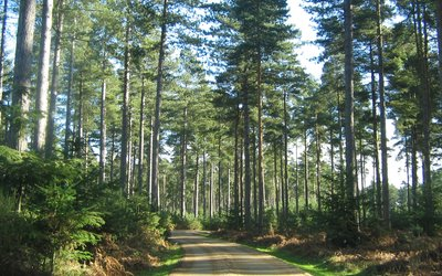 Forest Road winding through a Conifer Woodland