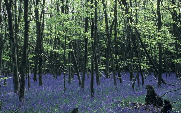 Field of bluebells within the forest