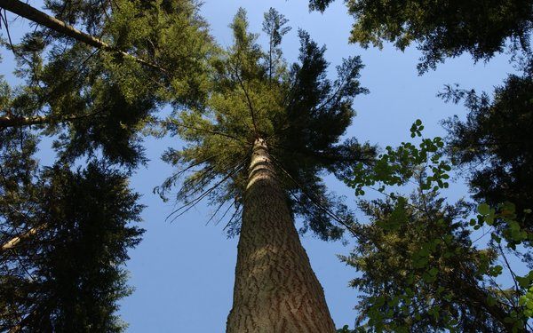 Conifer tree top from below