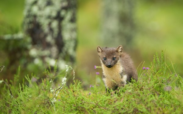 Pine Marten within grass