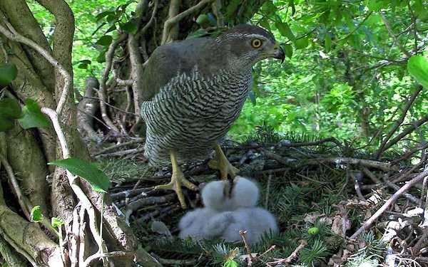 Goshawk and two chicks waiting to be fed in nest of twigs