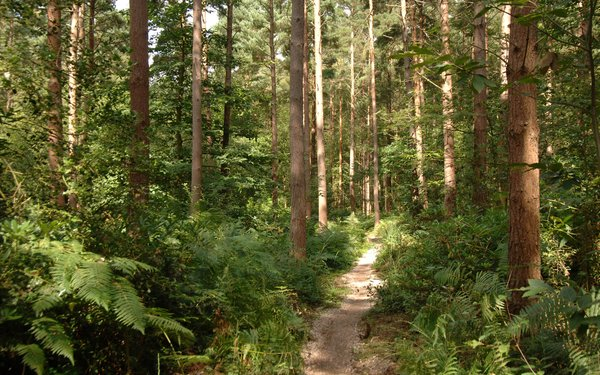 Thin trail running through conifer woodland