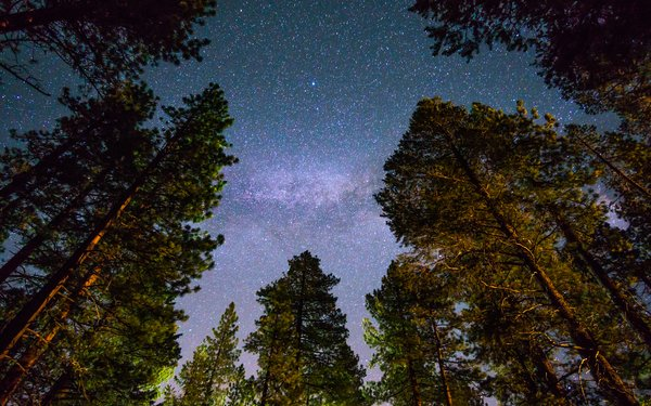 Starry sky through the canopy of pine trees