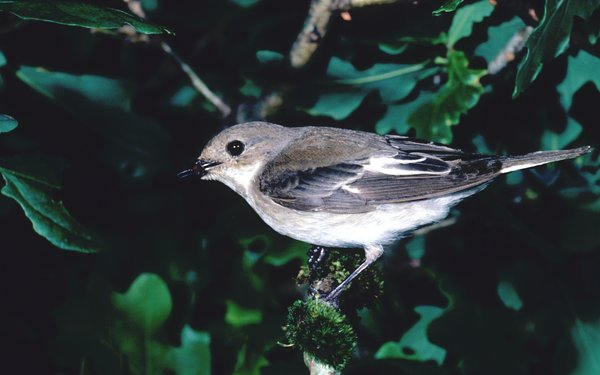Pied-Flycatcher in tree