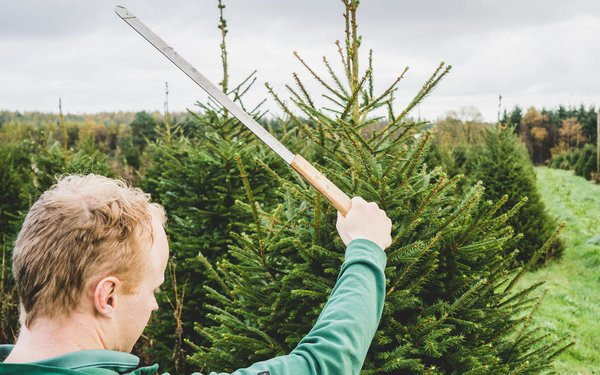 Man pruning a Christmas tree