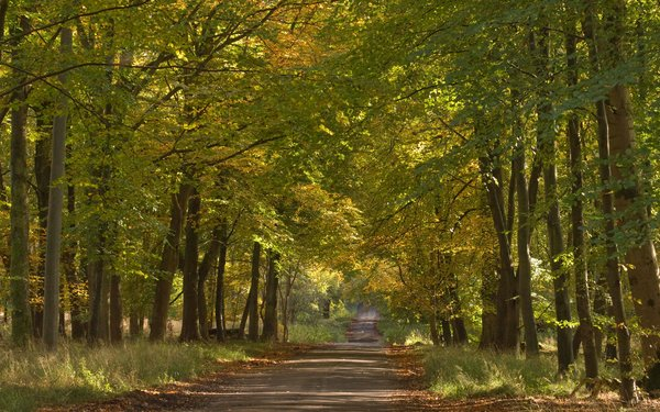 Drive through Savernake forest under tree canopy