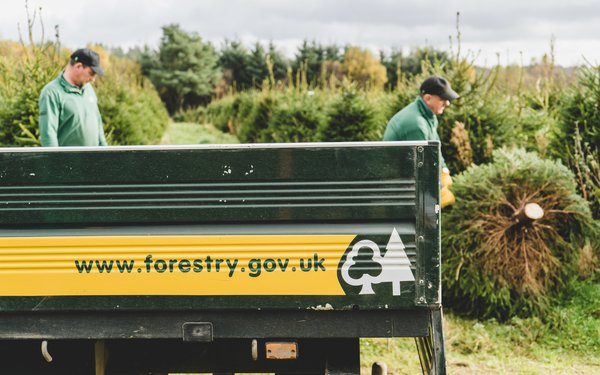 Loading Christmas trees into a Forestry Commission vehicle