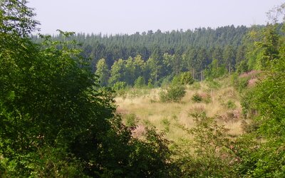 View over a mixed conifer woodland