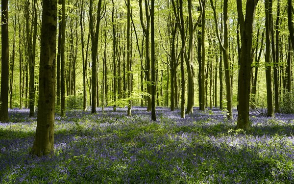Forest floor full of bluebells at West Woods