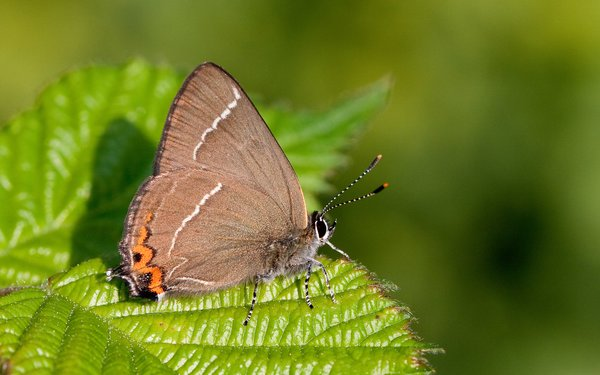 White-letter Hairstreak_credit Peter Eeles, Butterfly Conservation