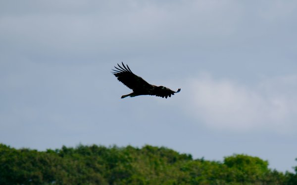Juvenile eagle flying above trees