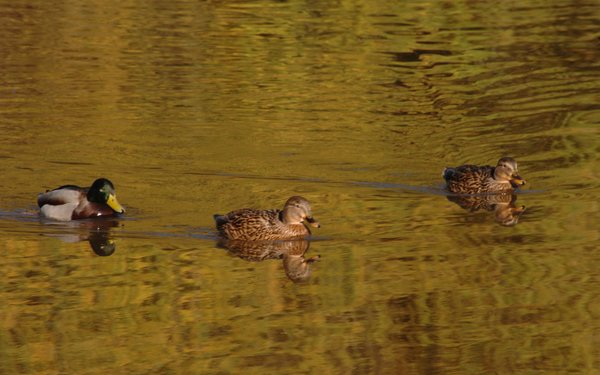 three ducks swimming together in pond